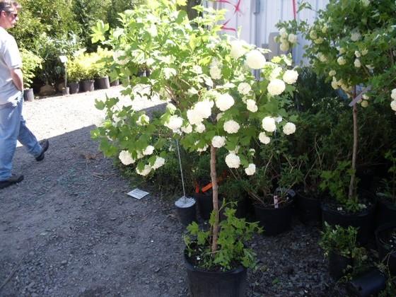 Garden Plants Landex Nursery Deciduous Flowering Shrubs